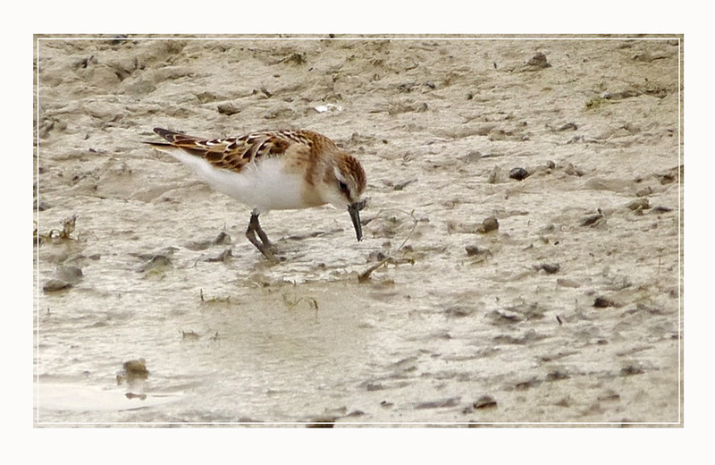 Little Stint (Calidris minuta) [juvenile], Wilstone Reservoir, Hertfordshire, 28/08/2011. (Heavy crop, distant shot)
