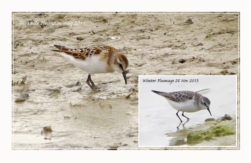 Juvenile Little Stints, Wilstone 2011, 2013