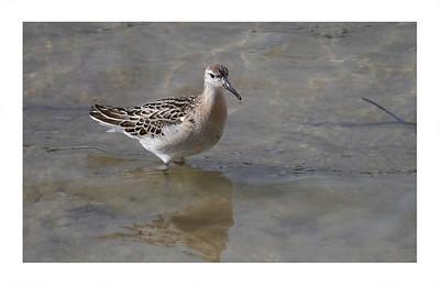 Ruff (Philomachus pugnax) [reeve, juvenile], Wilstone Reservoir, Hertfordshire, 25/09/2011 (2 of 9).
