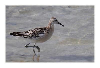 Ruff (Philomachus pugnax) [reeve, juvenile], Wilstone Reservoir, Hertfordshire, 25/09/2011 (3 of 9).