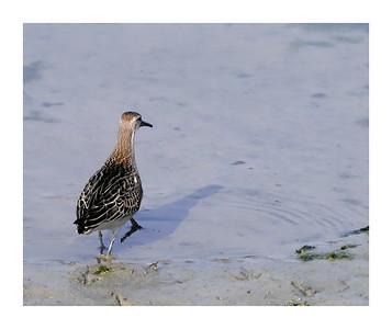 Ruff (Philomachus pugnax) [reeve, juvenile], Wilstone Reservoir, Hertfordshire, 25/09/2011 (5 of 9).