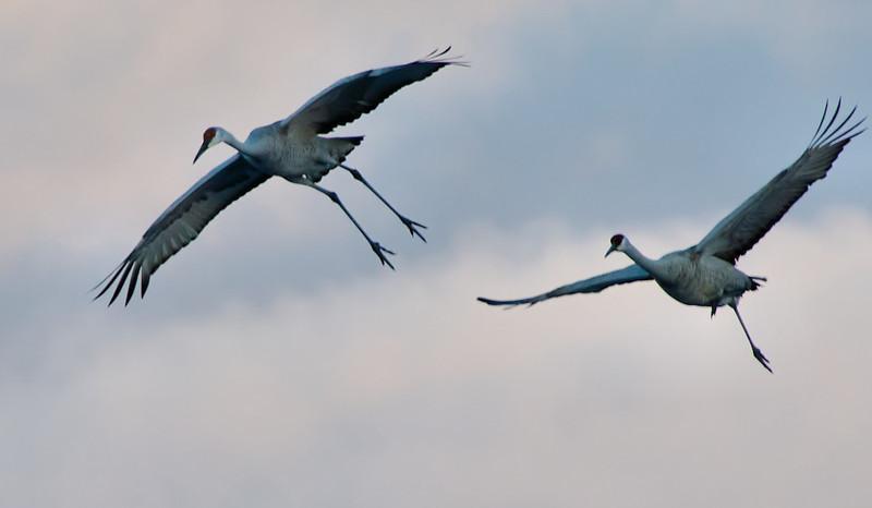 Sandhill Cranes evening return flight, first shots I have got of them in flight 2-4-13