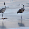 Sand Hill Cranes  near Kllamsteam Tavern, CP one had just taken drink then puts it neck up straight to swallow.