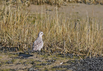 Grey Plover (Pluvialis squatarola) [late winter plumage], Thorney Island, West Sussex, 05/03/2013. Distant shot, heavy crop. Spent a very enjoyable few hours walking the east shore of Thorney Island, in the hope of seeing the Red-breasted Goose on the airfield. Unfortunately, no luck with the Goose here but plenty of beautiful birds to enjoy on a lovely sunny day, including my first Bar-tailed Godwit. Other species I saw included Curlew, Dunlin, Sanderling, Oystercatcher, Avocet, Redshank, Turnstone and Red-breasted Mergansers.