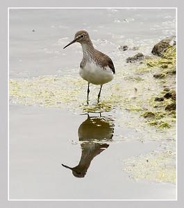 Green Sandpiper (Tringa ochropus), Brandon Marsh, Warwickshire, 14/08/2011