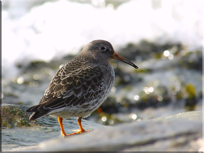 Purple Sandpiper (Calidris maritima), Southsea, Portsmouth, Hampshire, 01/12/2012. My first sighting of this delightful and confiding species.