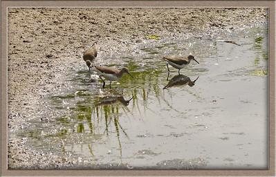 Green Sandpipers (Tringa ochropus), Brandon Marsh, Warwickshire, 14/08/2011
