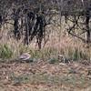 Stone-curlew (Burhinus oedicnemus), Gallows Bridge Nature Reserve, Buckinghamshire, 04/04/2013. At 200 metres, ISO800, 100% crop, record shot!