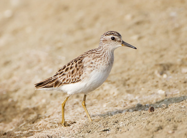 Calidris subminuta