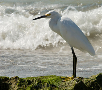 Snowy Egret Snowy Egret
