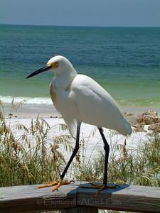 Snowy Egret - Anna Maria Island, FL Snowy Egret