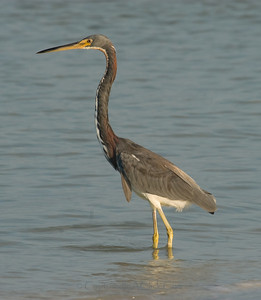 Tricolored Heron Tricolored Heron
