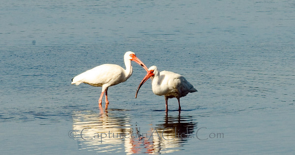 Pair of White Ibis - Ding Darling Wildlife Preserve - Sanibel, FL White Ibis