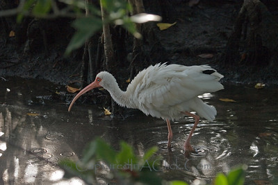 Bathing White Ibis - Ding Darling Wildlife Preserve - Sanibel, FL White Ibis