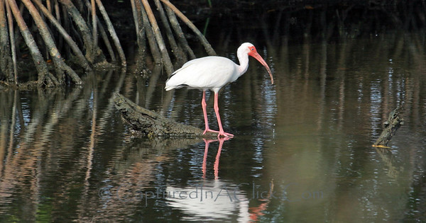 White Ibis - Ding Darling Wildlife Preserve - Sanibel, FL White Ibis