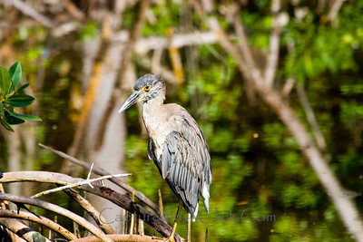 Immature Yellow-crowned Night Heron - Ding Darling Wildlife Refuge - Sanibel, FL Yellow Crowned Night Heron