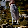 Tagged for tracking Reddish Egret