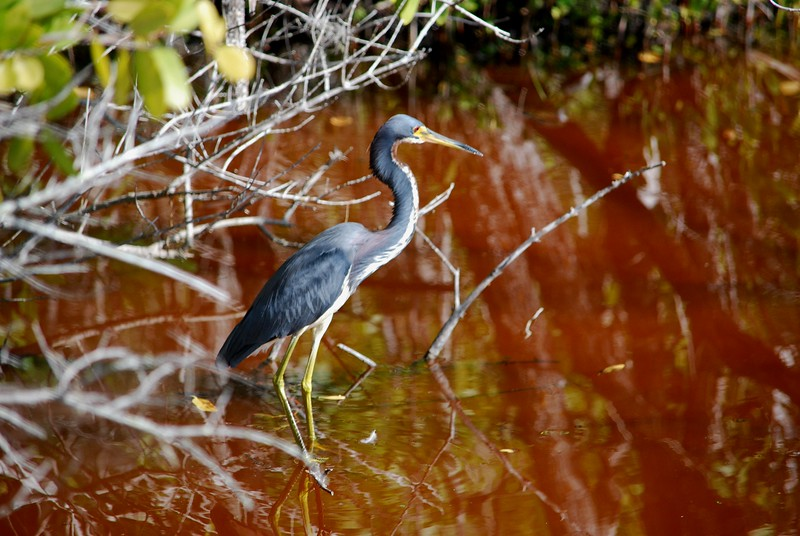 Tri-color Heron in the mangroves