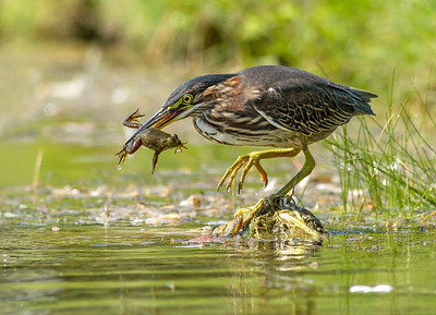 Green Heron and Frog Ottawa, Ontario