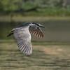 Flight Of The Black-crowned Night Heron