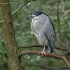Black-crowned Night Heron II