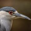 Black-crowned Night Heron III