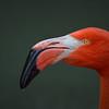 Flamingo Portrait II
