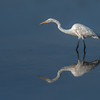 Reflections Of A Great White Ibis