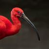 Scarlet Ibis Portrait