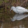 Juvenile Little Blue Egret