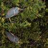 Little Blue Heron II