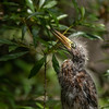 Little Green Heron - Juvenile