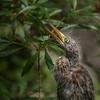 Little Green Heron - Juvenile II