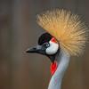 Gray-crowned Crane