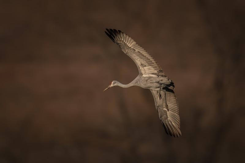 Sandhill Crane I