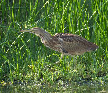 American Bittern   San Luis Rey Oceanside  2013 09 07 (10 of 16).CR2