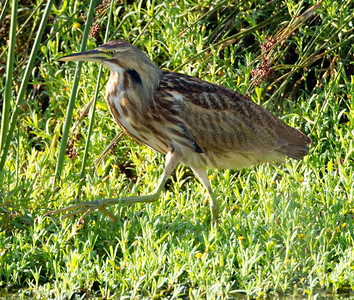 American Bittern   San Luis Rey Oceanside  2013 09 07 (5 of 16).CR2