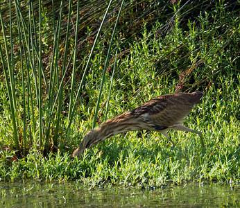 American Bittern   San Luis Rey Oceanside  2013 09 07 (3 of 16).CR2