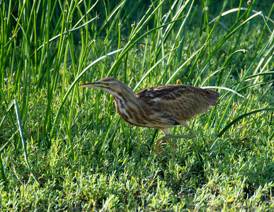 American Bittern   San Luis Rey Oceanside  2013 09 07 (8 of 16).CR2