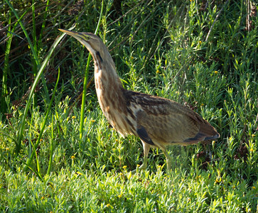American Bittern   San Luis Rey Oceanside  2013 09 07 (9 of 16).CR2