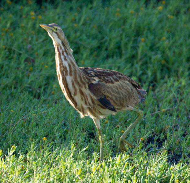 American Bittern   San Luis Rey Oceanside  2013 09 07 (7 of 16).CR2