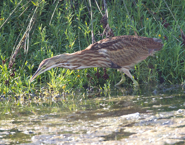 American Bittern   San Luis Rey Oceanside  2013 09 07 (11 of 16).CR2