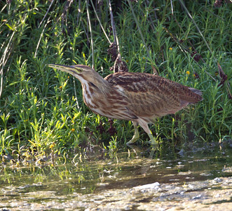 American Bittern   San Luis Rey Oceanside  2013 09 07 (13 of 16).CR2