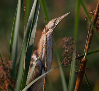 Least Bittern San Luis Rey Oceanside 2015 07 19-8.CR2