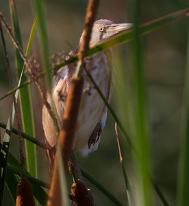 Least Bittern San Luis Rey Oceanside 2015 07 19-9.CR2