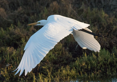 Great Egret San Elijo Lagoon 2016 12 27-2.CR2