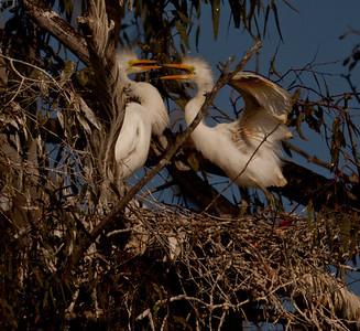 Great Egret San Elijo Lagoon California 05 13 10