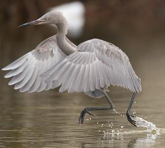 Reddish Egret San Luis Rey River Oceanside 2012 09 13 (6 of 7).CR2