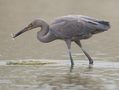 Reddish Egret San Luis Rey River Oceanside 2012 09 13 (7 of 7).CR2