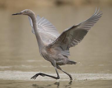Reddish Egret San Luis Rey River Oceanside 2012 09 13 (5 of 7).CR2
